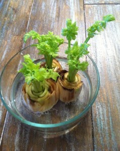 RE-GROW CELERY USING WATER