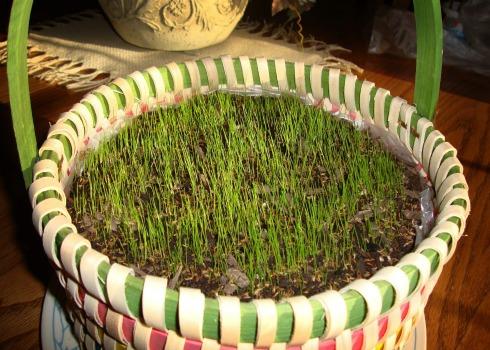 easter grass after 1 week