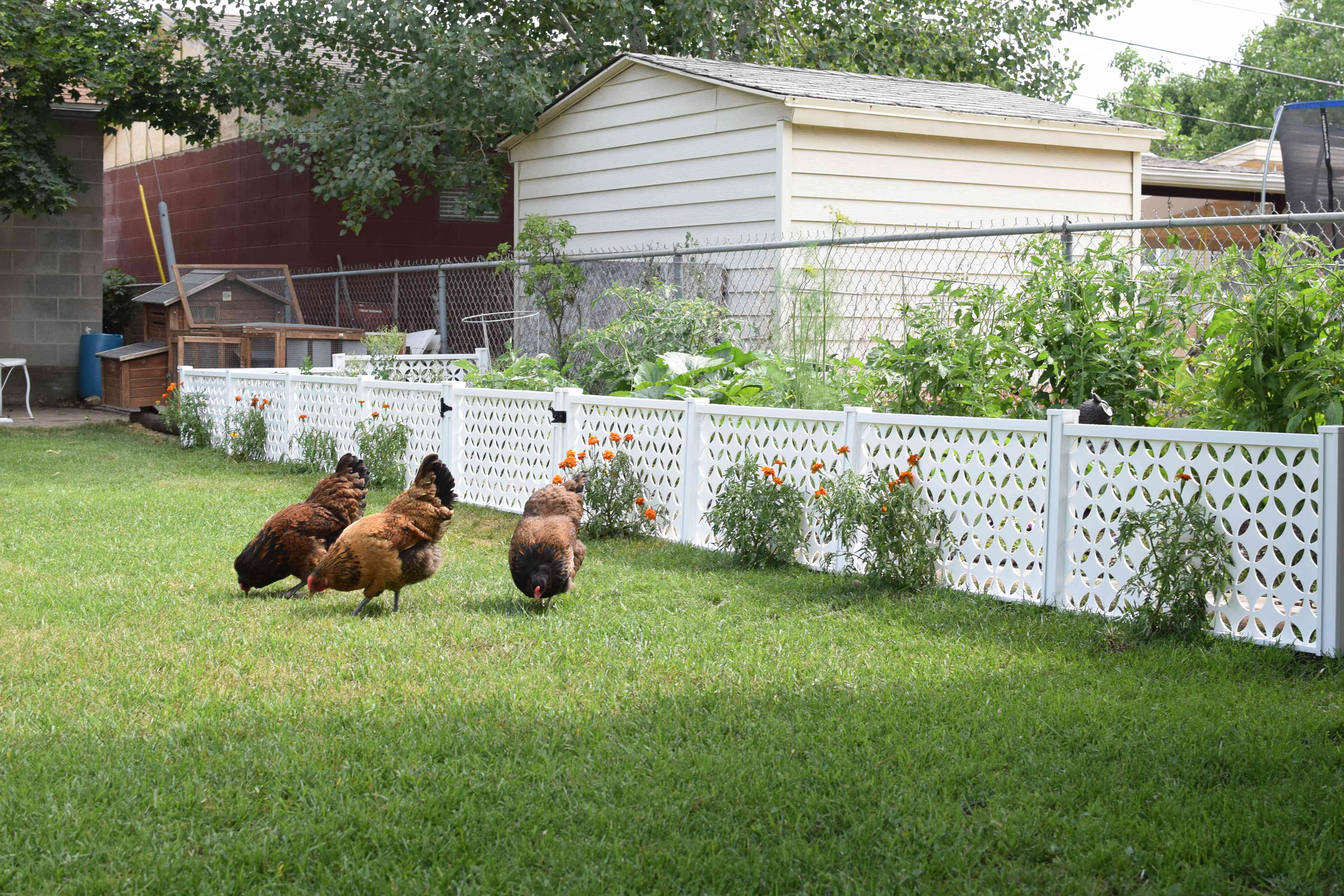 how to enclose a garden to protect from chickens